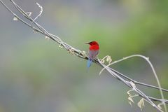 Sunbird cramoisi image stock