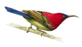 Sunbird cramoisi Photographie stock