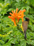 Sunbird Cute bird with flower in the garden Royalty Free Stock Photos