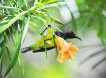 Sunbird Cute bird in the garden Stock Images
