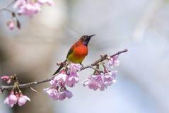Sunbird de Gould Foto de Stock Royalty Free