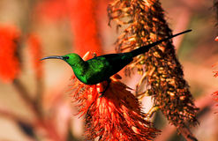 Sunbird de malachite Photographie stock