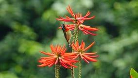 Sunbird de queue de fourchette image stock