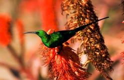 Sunbird della malachite Fotografia Stock