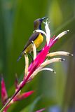 Sunbird desserré par olive photos stock
