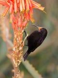 Sunbird di appoggio viola Immagini Stock Libere da Diritti