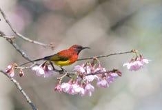 Sunbird di Gould Immagine Stock