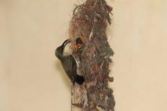 Sunbird die Nestvogel 6 voeden Stock Afbeeldingen