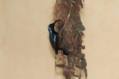 Sunbird die Nestvogel 7 voeden Royalty-vrije Stock Afbeelding