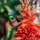 Sunbird Double-colleté Photo stock