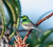 Sunbird Double-colleté Image libre de droits