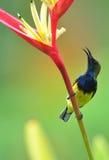 Sunbird e fiore di colore rosso di colore giallo Immagine Stock