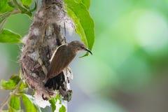 Sunbird in einem Nest lizenzfreie stockfotografie