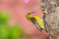 Sunbird em seu ninho fotografia de stock