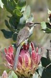 Sunbird en África foto de archivo