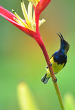 Sunbird et fleur de rouge de jaune Image stock
