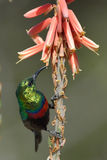 Sunbird feeding Stock Photo