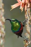 Sunbird feeding Royalty Free Stock Photography