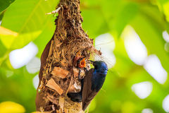 Sunbird feeding young Stock Images