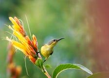 Sunbird Royalty Free Stock Photos