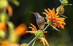 sunbird femelle amethyst photo libre de droits