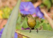 Sunbird femenino Fotografía de archivo