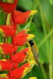 Sunbird in fiore di heliconia fotografia stock libera da diritti