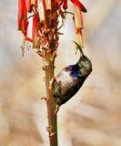 Sunbird gonfiato bianco Fotografia Stock Libera da Diritti