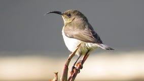 Sunbird gonfiato bianco (femminile) Fotografie Stock