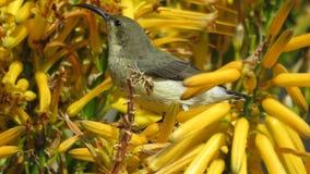 Sunbird gonfiato bianco (femminile) Fotografia Stock Libera da Diritti