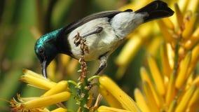 Sunbird gonfiato bianco (maschio) fotografia stock