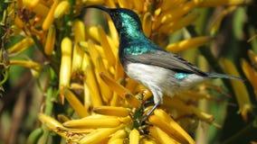 Sunbird gonfiato bianco (maschio) Fotografie Stock Libere da Diritti