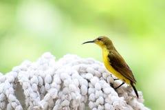 Sunbird gonfiato giallo immagini stock