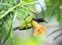 Sunbird gullig fågel i trädgården Arkivbilder