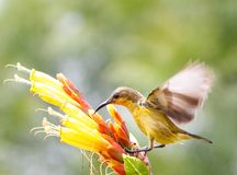 Sunbird Royalty Free Stock Photos