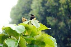 Sunbird i regnet Fotografering för Bildbyråer