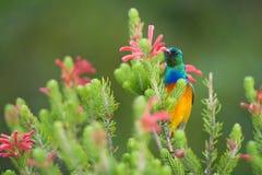 Sunbird karmienie na Stołowym Halnym Południowa Afryka Zdjęcie Stock