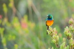 Sunbird karmienie na Stołowym Halnym Południowa Afryka Zdjęcia Royalty Free