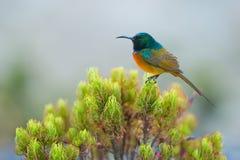 Sunbird karmienie na Stołowym Halnym Południowa Afryka Obraz Royalty Free