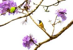 Sunbird merveilleux avec la fleur verte de bois d'ébène Photo libre de droits