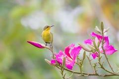 Sunbird na flor imagem de stock royalty free