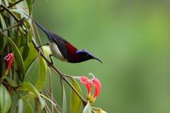 Sunbird Negro-throated Fotografía de archivo libre de regalías