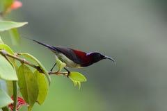 Sunbird Negro-throated Imagenes de archivo