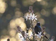 Sunbird nel tramonto Fotografia Stock