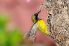 Sunbird no ninho fotografia de stock