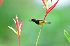Sunbird Oliva-di appoggio (uccello) Fotografia Stock Libera da Diritti