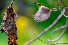 Sunbird Olive-desserré Photographie stock