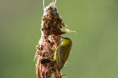 Sunbird Olive-desserré Images libres de droits