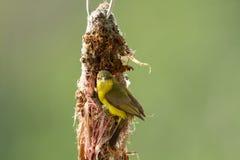 Sunbird Olive-desserré Photo stock