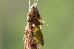 Sunbird Olive-desserré Images stock